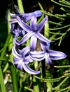hyacinth2-50418