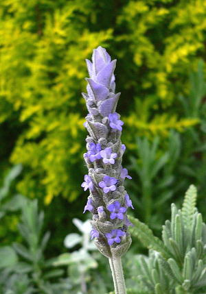 lavender-50401