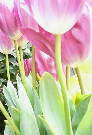 tulip1-50406