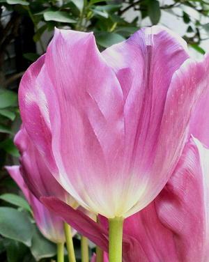tulip2-50406