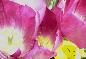 tulip3-50406